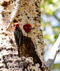 Red-naped Sapsucker Hybrid  Red-breasted Sapsucker Lee Vining Canyon  2011 06 16-1-2-2.CR2 (1 of 3).CR2