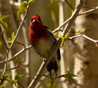 Red-breasted Sapsucker Convick Lake 2014 04 23-2.CR2