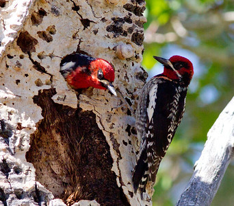 Red-naped Sapsucker Hybrid Lee Vining Canyon  2011 06 16-1-1.CR2-1-1-2.CR2