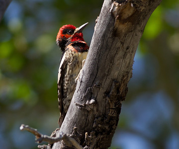 Red-naped Sapsucker Hybrid Lee Vining Canyon  2011 06 16-1-2-2.CR2