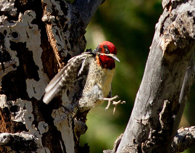 Red-Naped Sapsucker hybrid  Lee Vining Canyon Ca 2011 06 18-3.CR2