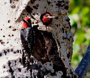 Red-naped Sapsucker hybrid Red-breasted Sapsucker  Lee Vining Canyon Ca 2011 06 18-1-2.CR2 (1 of 2).CR2
