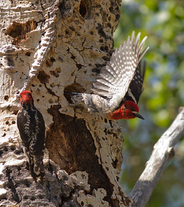 Red-naped Sapsucker Hybrid  Red-breasted Sapsucker Lee Vining Canyon  2011 06 16-1-2-2.CR2 (3 of 3).CR2