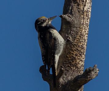 American Three-toed Woodpecker Beartooth Pass Montana 2015 06 11-2.CR2