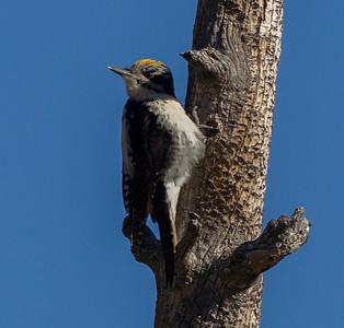 American Three-toed Woodpecker Beartooth Pass Montana 2015 06 11-1.CR2