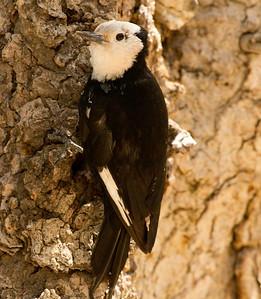 White-headed Woodpecker   Mammoth Lakes  2011 06 17-1.CR2-2.CR2
