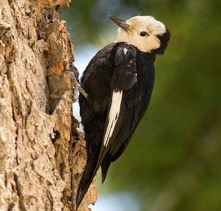 White-headed Woodpecker   Mammoth Lakes  2011 06 17-1.CR2-1.CR2