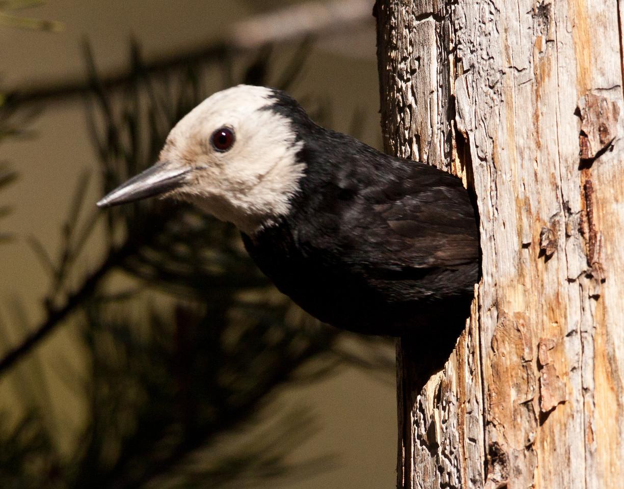 White-headed Woodpecker  Mammoth Lakes 2010 05 22-5.CR2