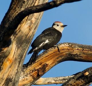 White-headed woodpecker Mammoth Lakes 2014 07 23.CR2