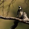 Ladder back woodpecker Male