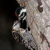 Ladder back woodpecker female feeding young