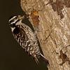 Ladder back woodpecker female