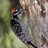 Ladder back woodpecker male feeding young