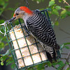Snacking On Suet