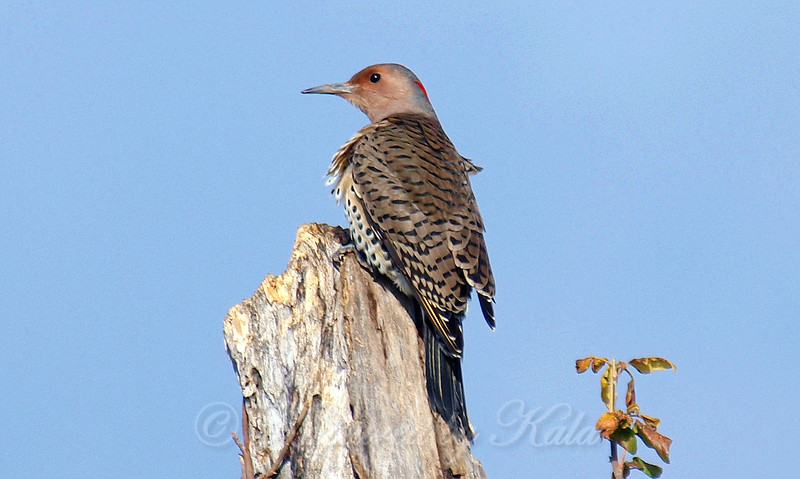 Female Northern Flicker View 3