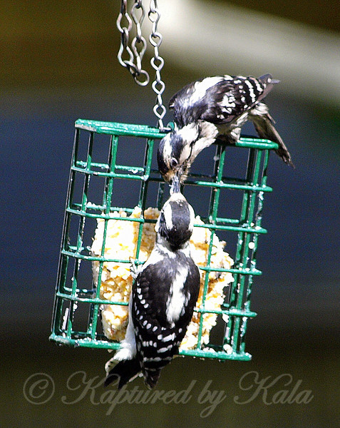 Mama Downy Woodpecker Takes Her Baby to the Suet Basket