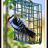 Greedy Downy Woodpecker Loves His Suet