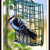 Greedy Downy Woodpecker Loves His Suet