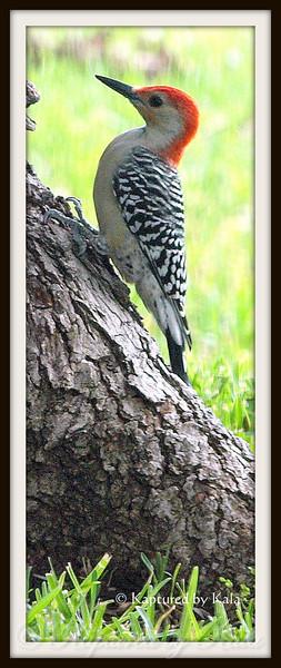 Adult Male Red Bellied Woodpecker