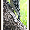 Adult Male Red Bellied Woodpecker