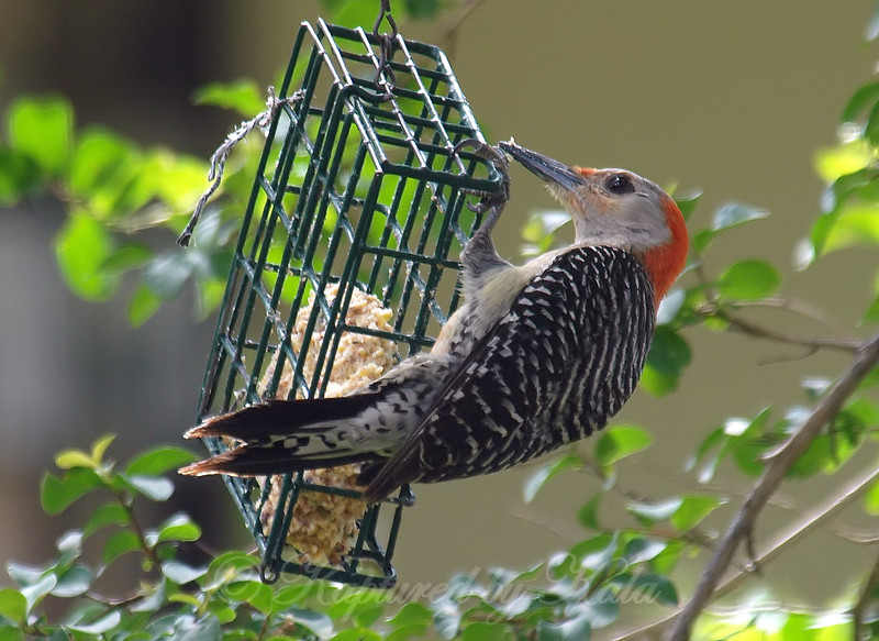 Mama Red-Bellied Woodpecker At The Suet Basket
