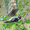 Juvenile Downy Likes His Suet
