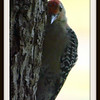 Red Bellied Woodpecker Listening for Insects