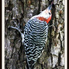 Red Bellied Woodpecker Using Tongue to Retrieve Insect From Hole in Tree