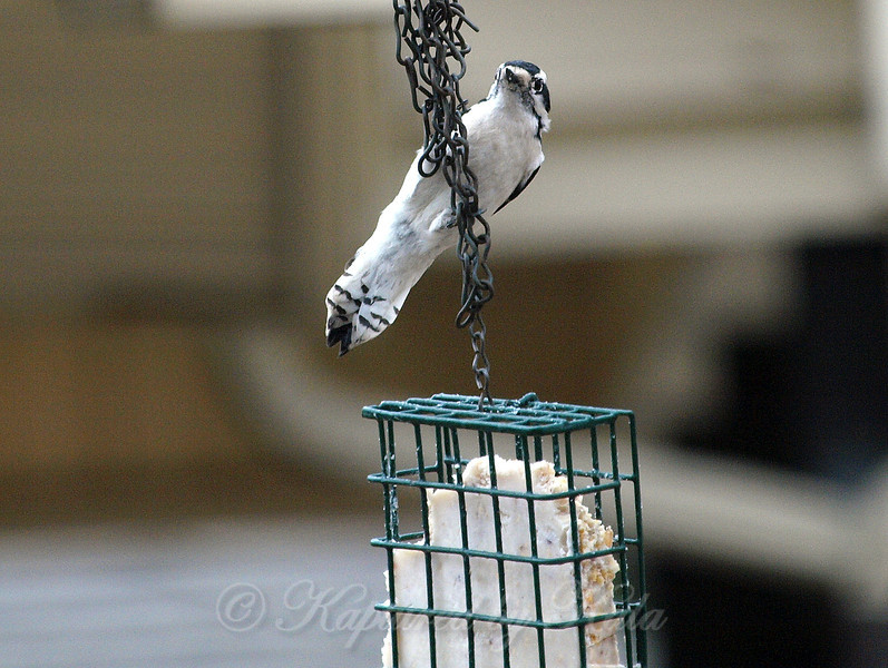 Making Her Way Down to the Suet