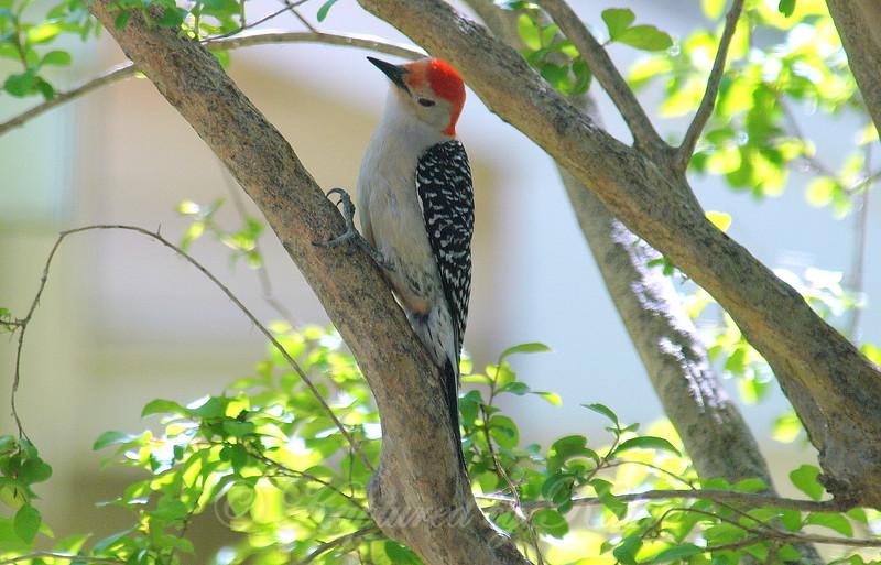 Red-bellied Woodpecker Eyeing the Suet Below