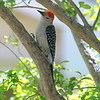 Red-bellied Woodpecker Eyeing the Suet Below