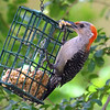 Big Bite Of Suet