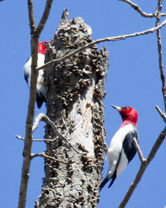 Red-headed Woodpeckers 2