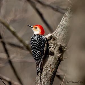 Red bellied woodpecker-6231