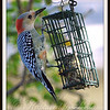 Finally, You Can See Where the Red Bellied Woodpecker Gets It's Name