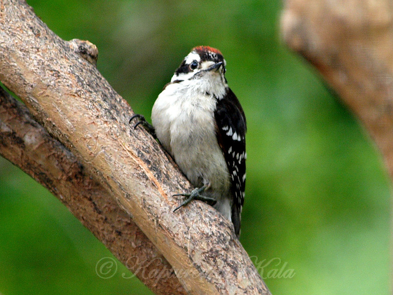 Baby Downy Woodpecker