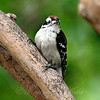 Baby Downy Woodpecker