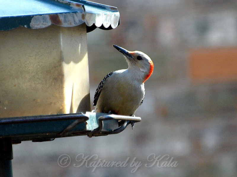 First Time I've Seen a Woodpecker Visit This Feeder
