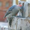 Woodpecker Tongue