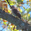 Northern Flicker At The Heard