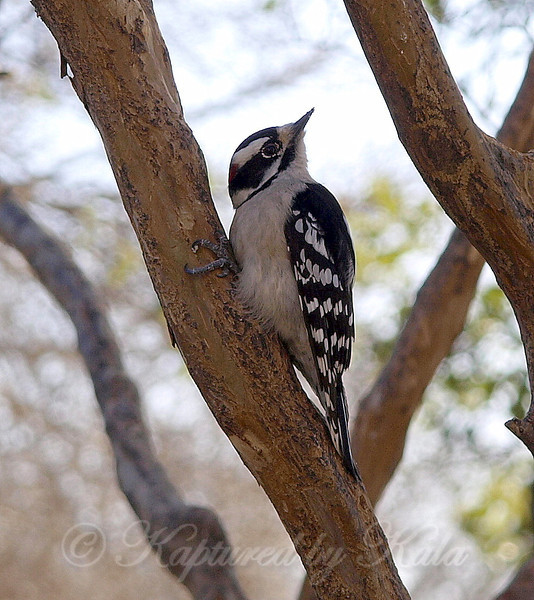 Downy Woodpecker as I Was Walking Towards Him With a Camera