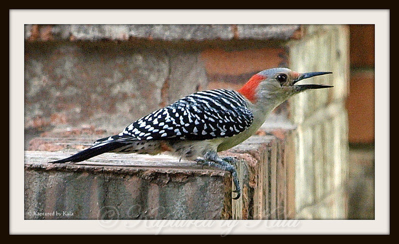 Female Red Bellied Woodpecker Calling For Her Mate