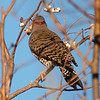 A Flicker Going After Berries
