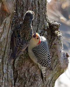 Red Bellied Woodpecker with Starling