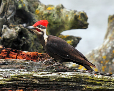 Pileated Woodpecker Side-View