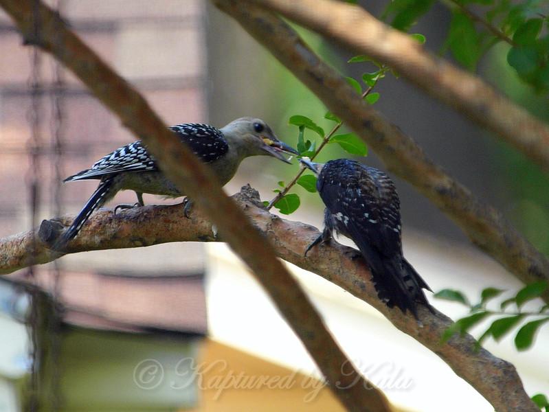 Papa Red-Bellied Woodpecker Feeding a Baby