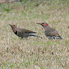 Two Flickers in the Grass
