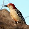 Bold Woodpecker