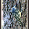 Female Red Bellied Woodpecker Going After An Insect