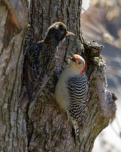 Woodpecker and Starling Disagreement